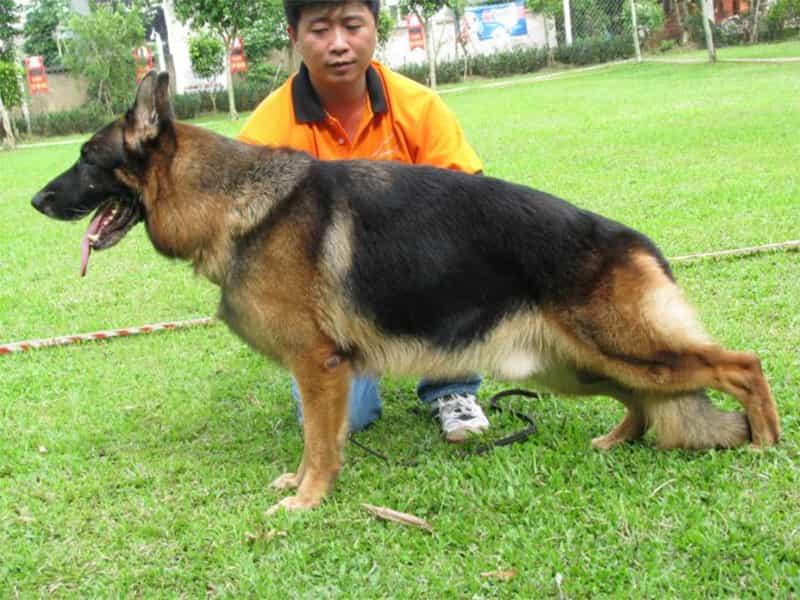 Trại chó Becgie thuần chủng