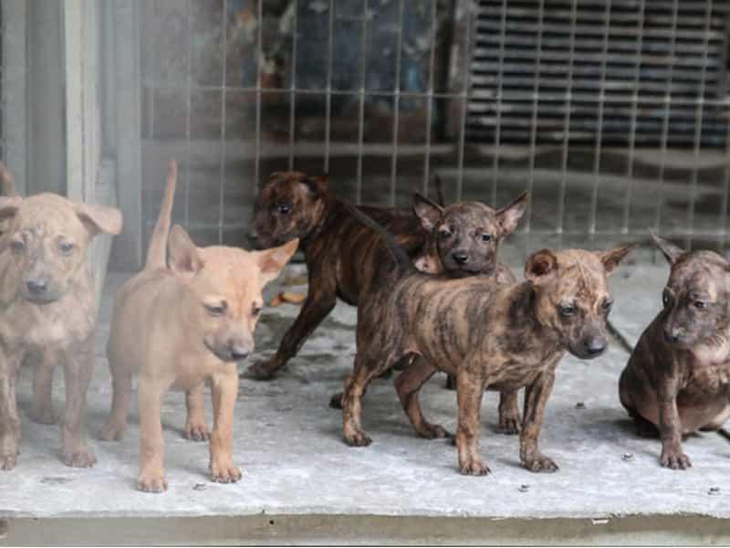 Danh sách trại chó Phú Quốc