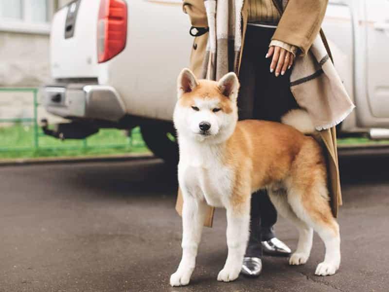 Huấn luyện chó Akita