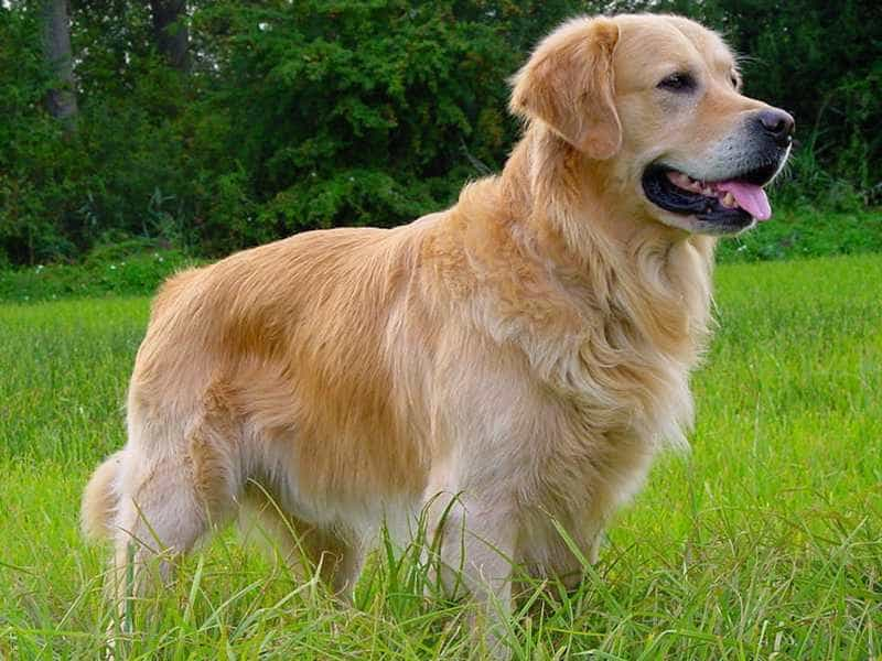 Golden Retriever de thuong
