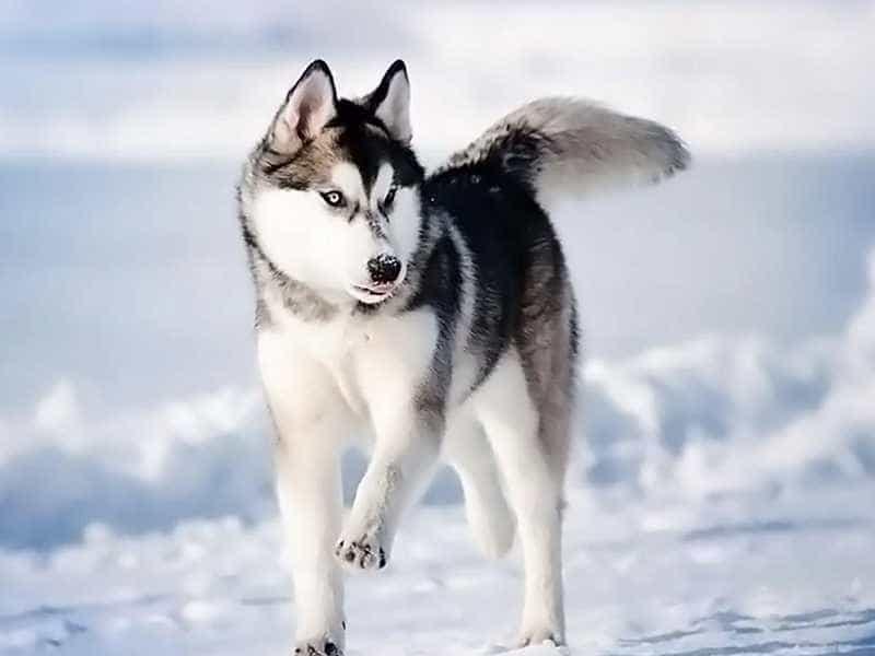 Husky lon
