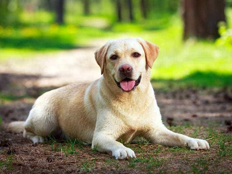 Labrador de thuong