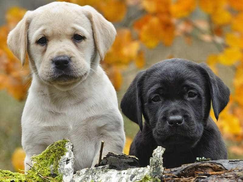 Labrador nho