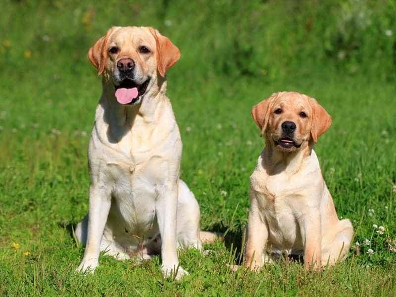 Labrador dang yeu