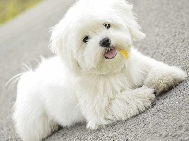 Maltese cute