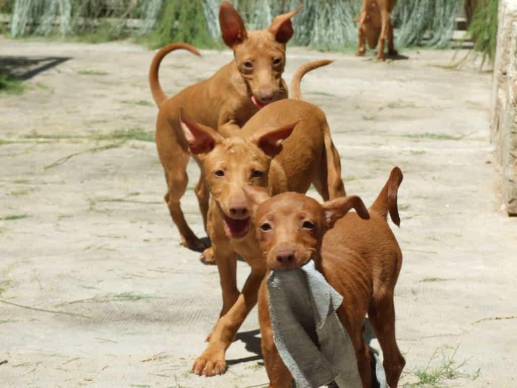 3 chú chó Ai Cập