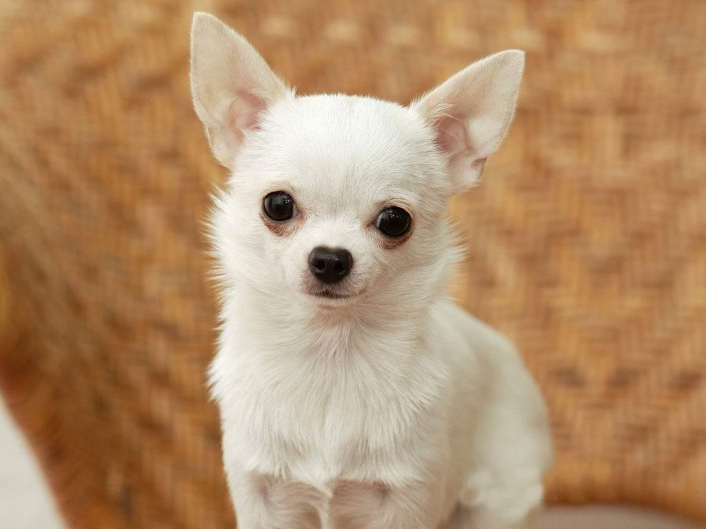 phương pháp phối giống chó chung đặc điểm