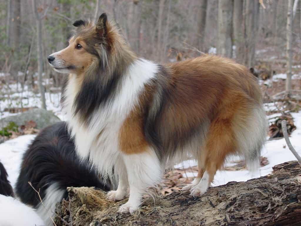 Chăm sóc bộ lông cho chó Shetland