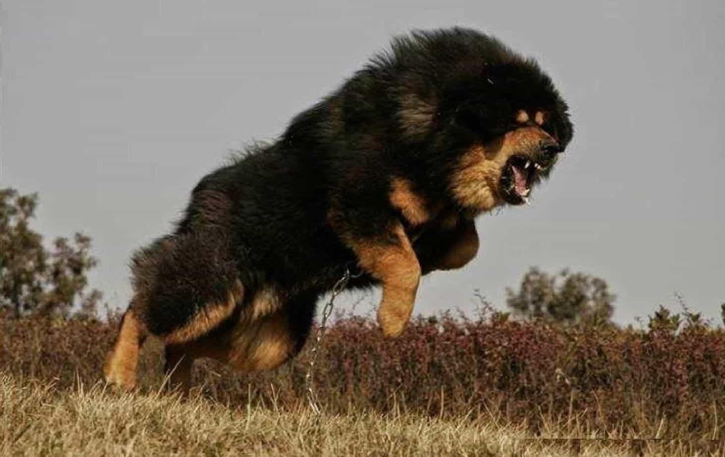 Bệnh viêm phế quản ở chó Ngao Tây Tạng