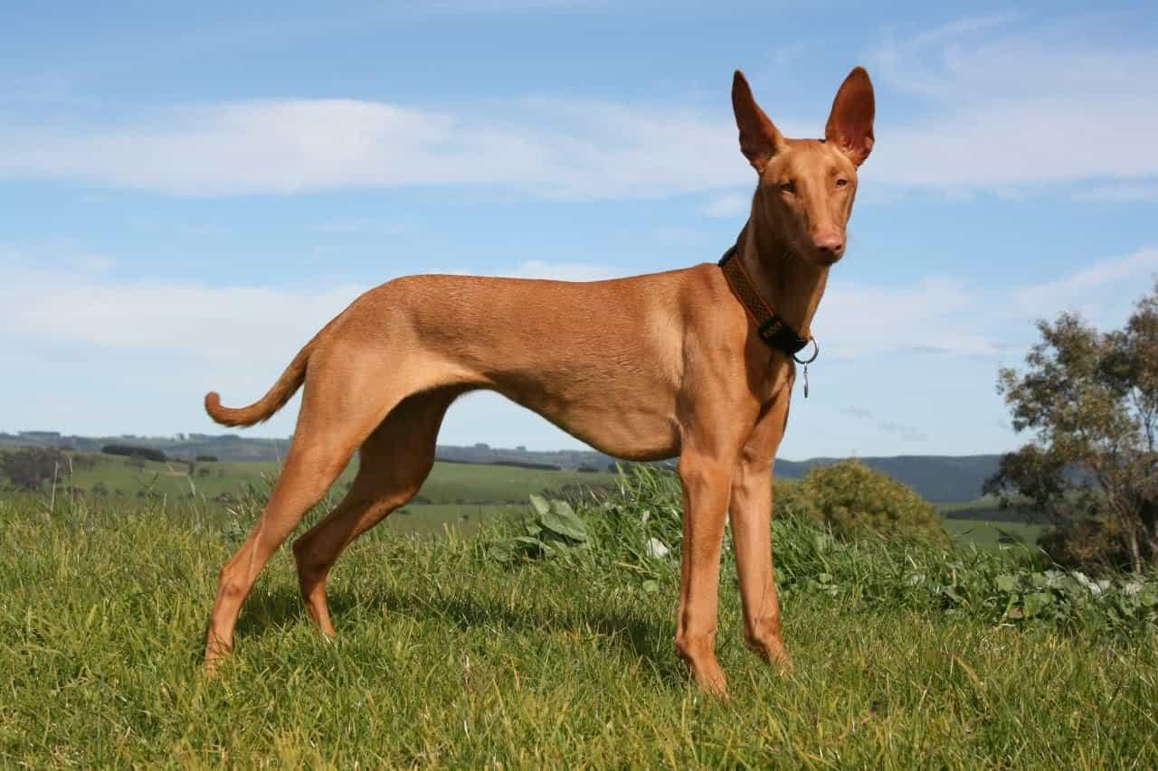 Dáng đững của chú chó Ai Cập