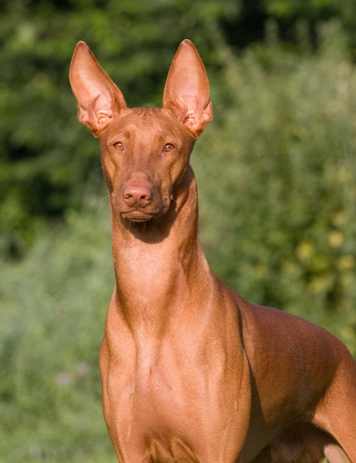 Gương mặt chó Ai Cập