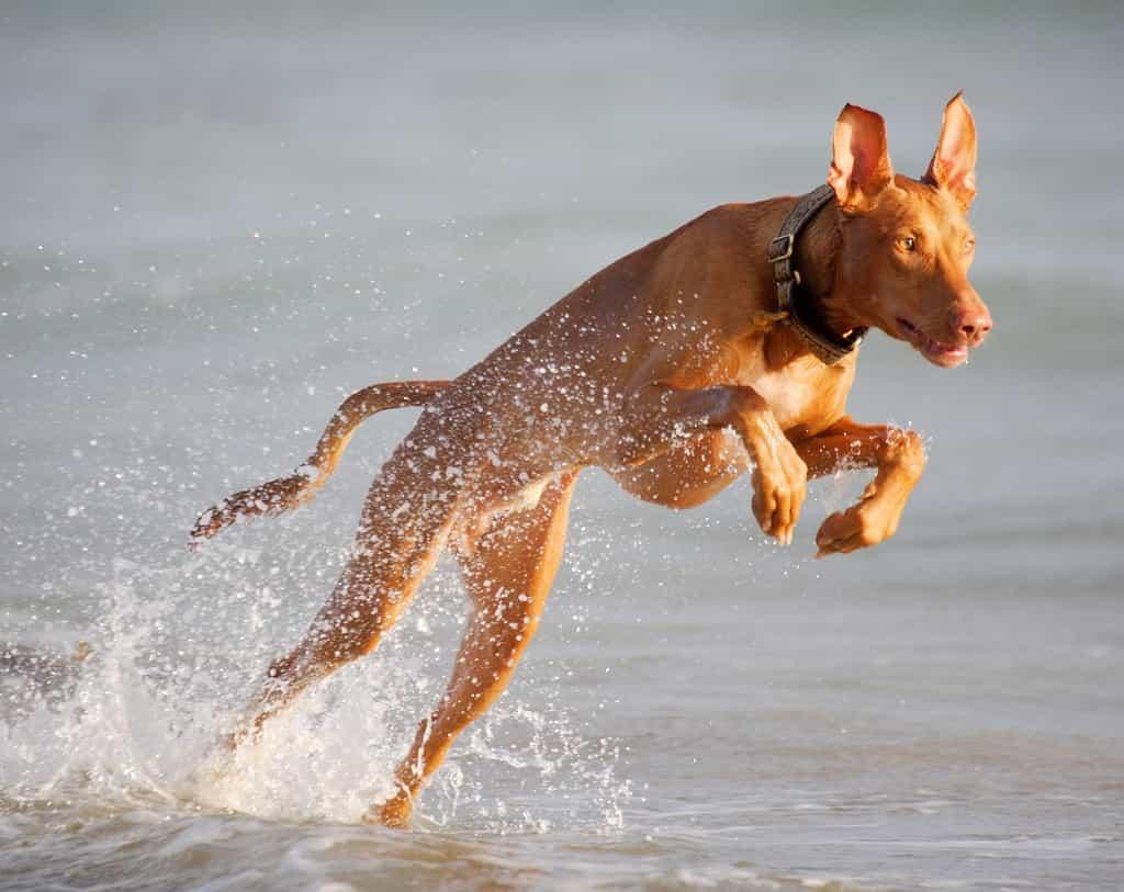 Chó Ai Cập thích nơi rộng rãi