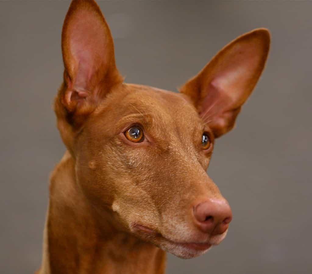 Chó Ai Cập tò mo, sáng tạo