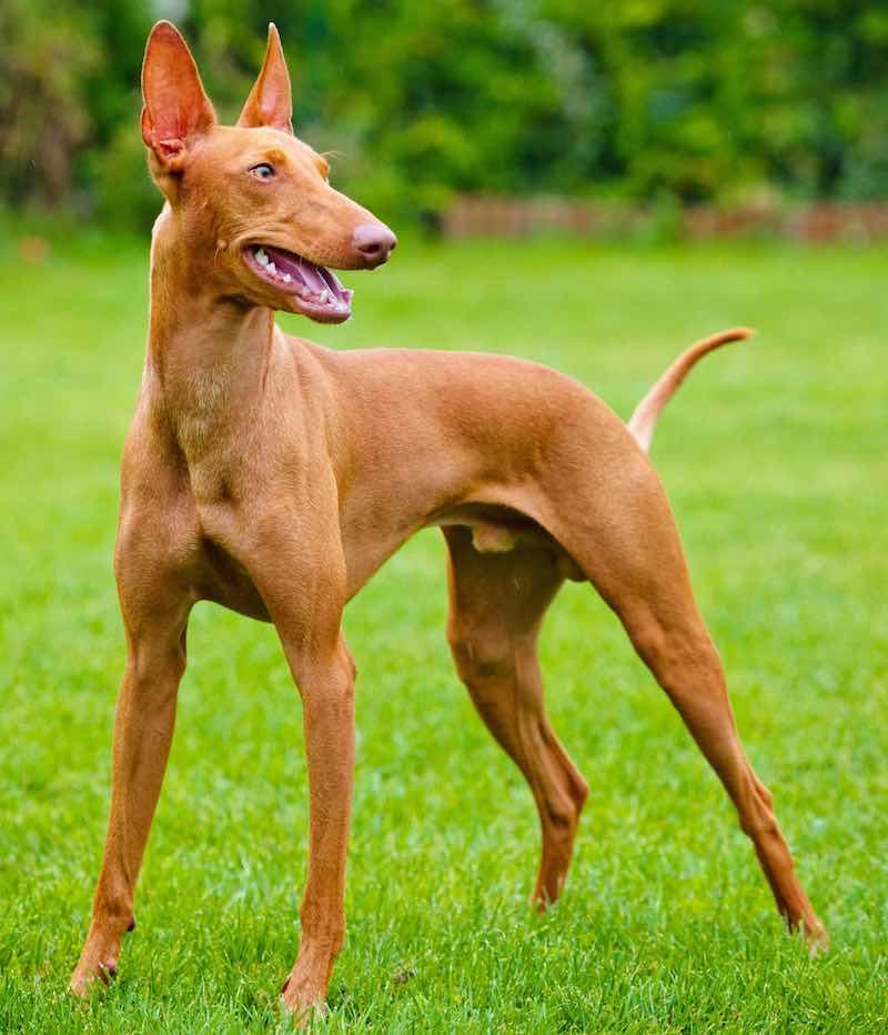 Chó Ai Cập đứng trên cỏ