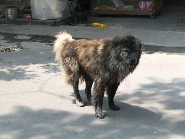 Tìm Hiểu Về Giống Chó Bắc Hà