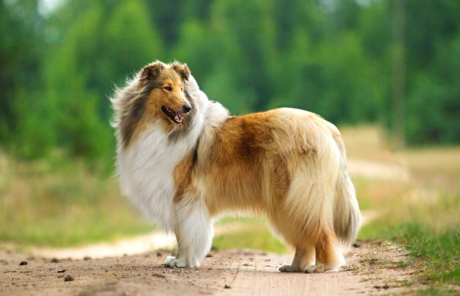 Chó chăn cừu Shetland Sheepdog
