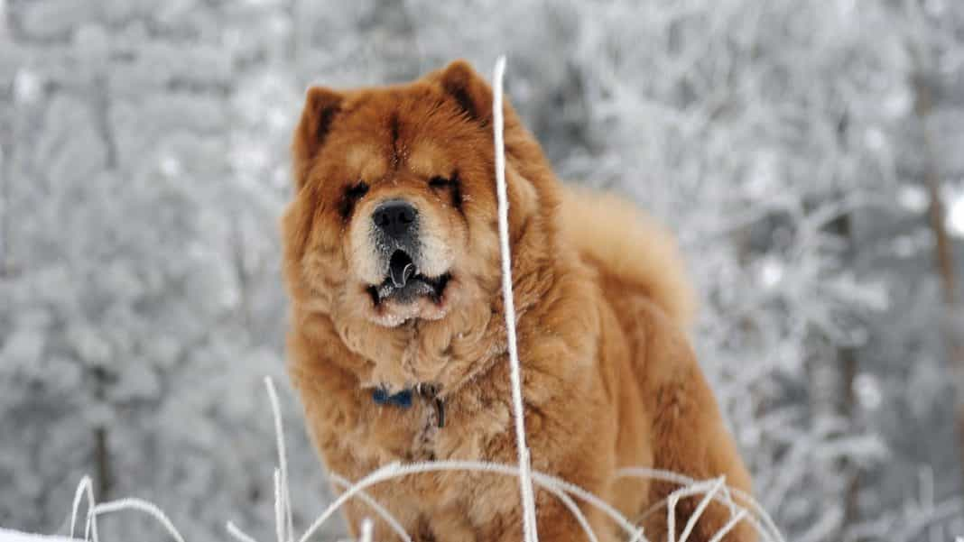chow chow con