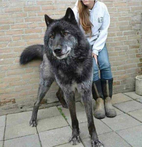 một chú chó lai sói đen tuyền