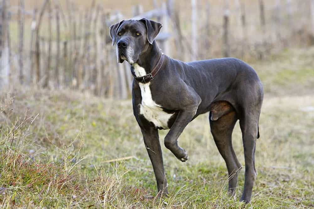 Thể lực của Great Dane rất tốt