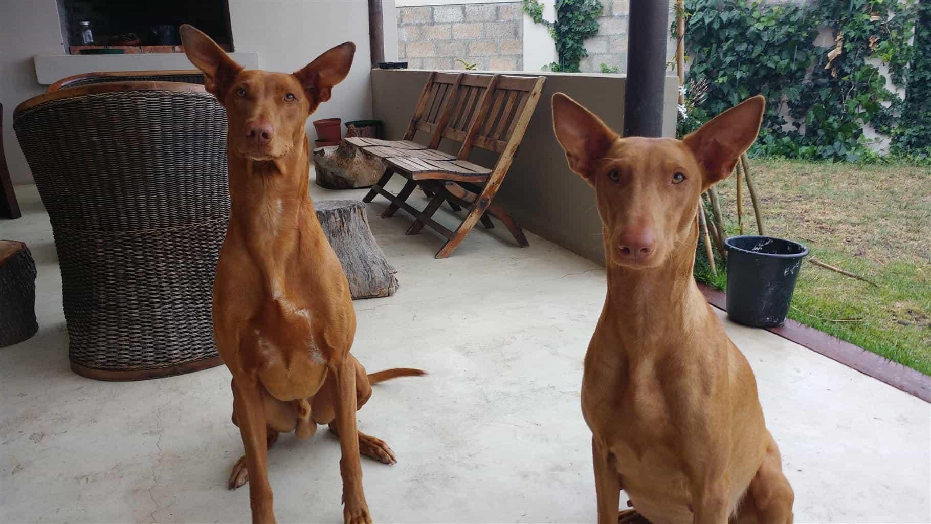 Chó Ai Cập sống trong nhà