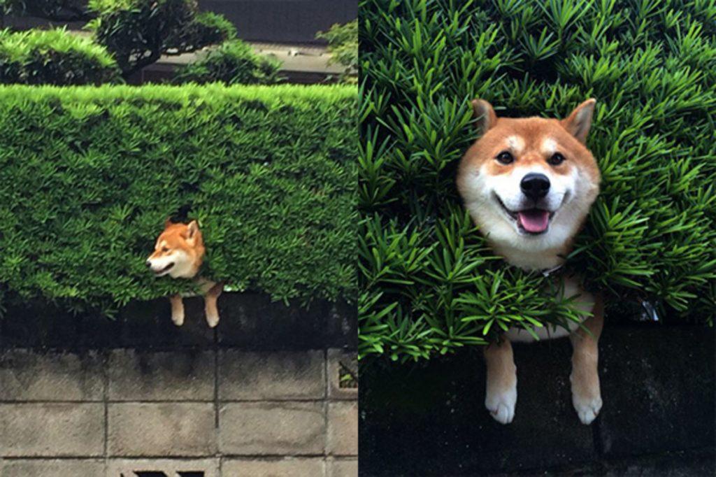 Shiba Inu - một thiên tài lẩn trốn
