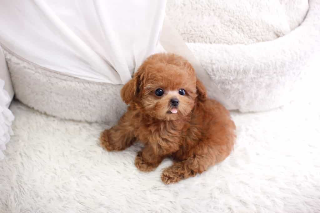Teacup Poodle thường là những chú Toy Poodle sinh non