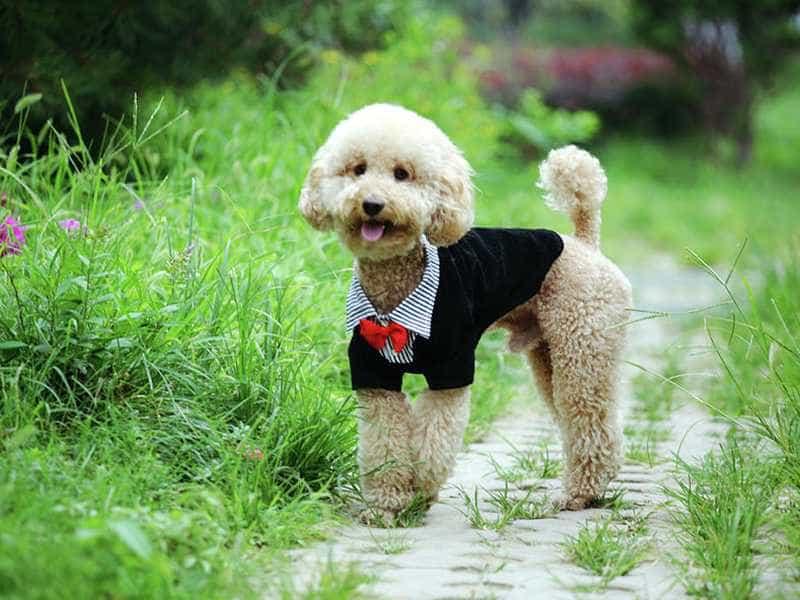 Poodle cute