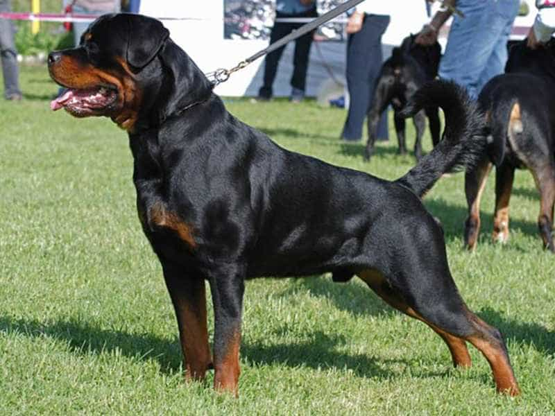 Rottweiler to lon