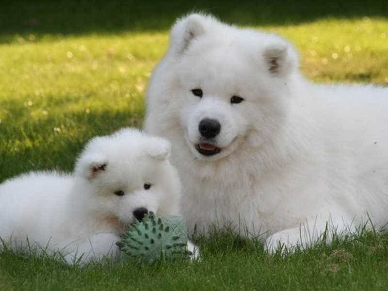 Samoyed cute