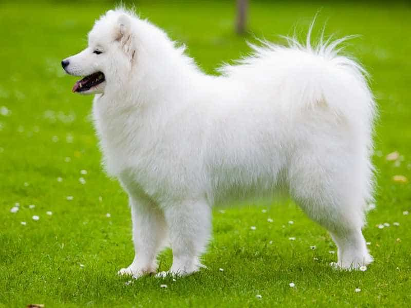 Samoyed to