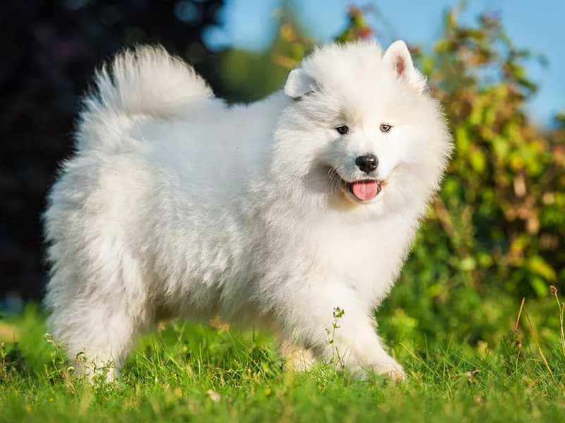 Samoyed to lon