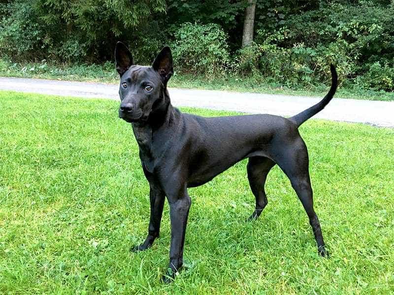 Chó Xoáy Thái den