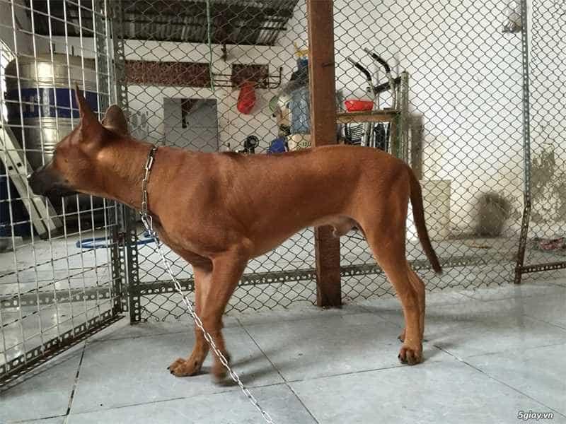 Chó Xoáy Thái nau