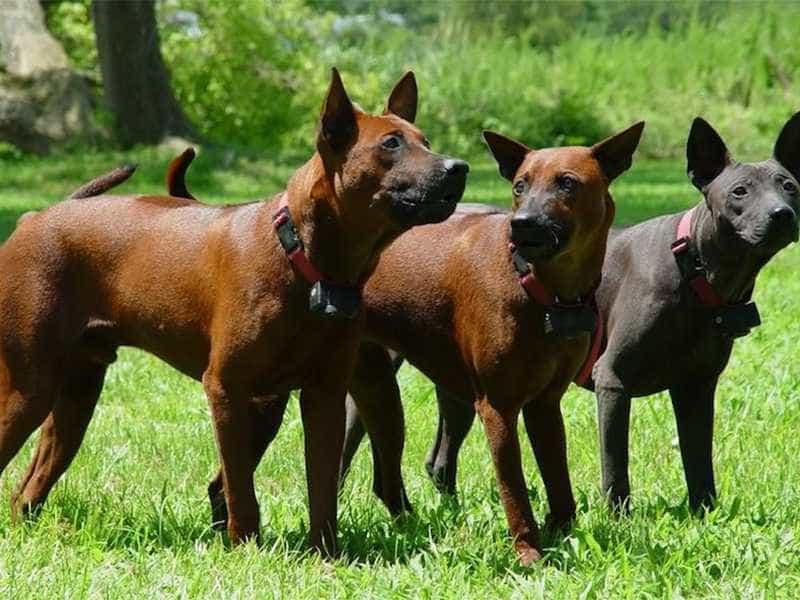 Chó Xoáy Thái family
